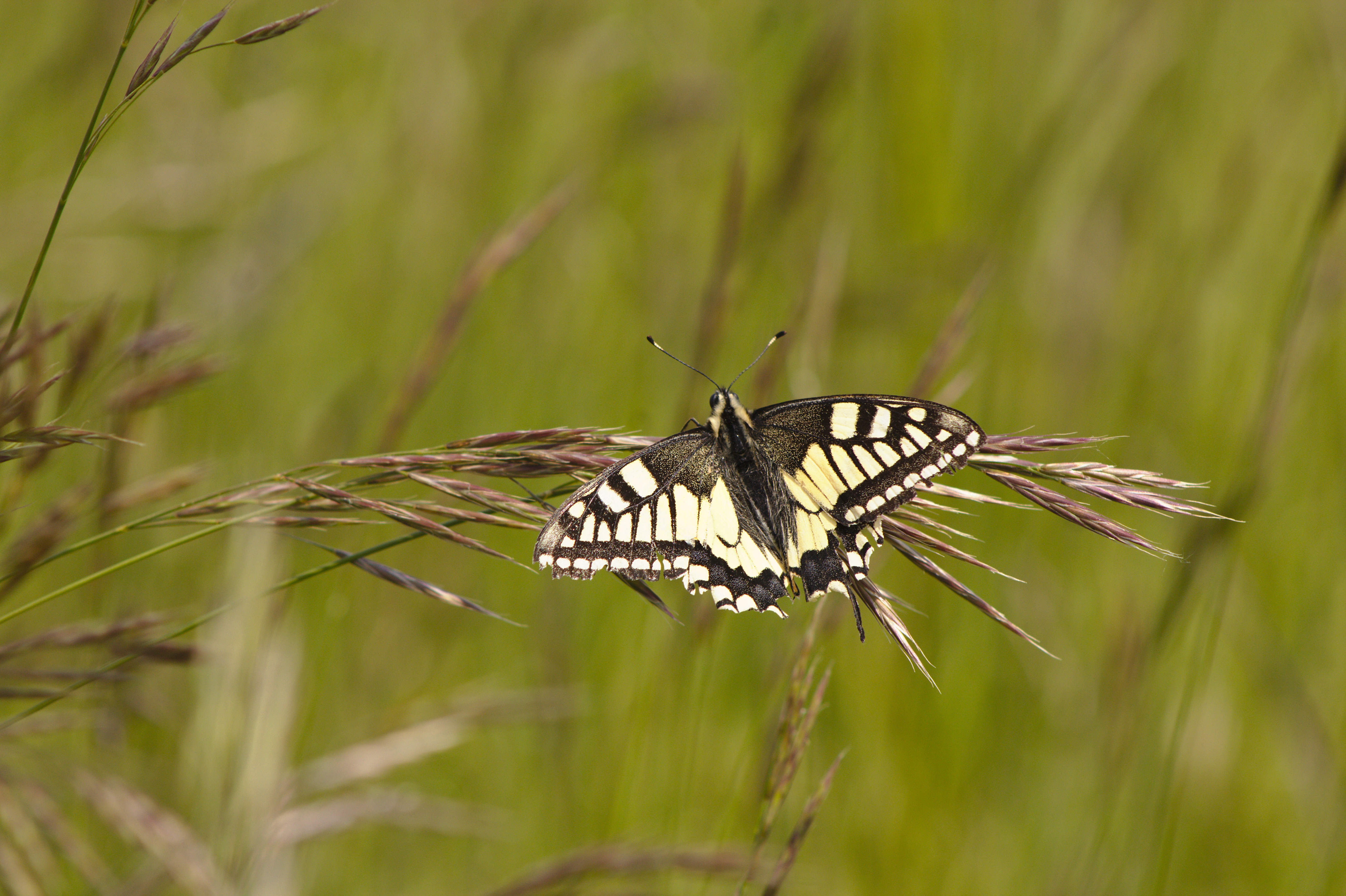 weissgerber_papillo machaon(1).jpg